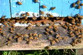 A lot of bees entering a beehive Royalty Free Stock Images