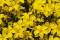 A lot of blooming yellow flowers of linum flavum in the garden small Stock Image