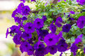 A lot of blue petunia with blur Royalty Free Stock Images