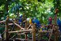 A lot of blue-and-yellow macaws and red aras sitting on the branches in the forest