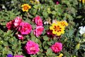 Plenty of Colorful Vibrant Pink and Yellow Flowers during a Sunny Spring Day in Finland Royalty Free Stock Photo