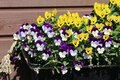 Plenty of Colorful Pansy Flowers in Finland during Early Spring Royalty Free Stock Photo