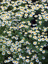 A lot of Daisy 1 Royalty Free Stock Photos