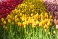 Lot of Different Colorful Dutch Tulips in Keukenhof National Flowers Park Royalty Free Stock Photo