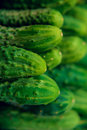 Cucumbers in summer. Fresh wet pickle ready for canning. Cucumbers for salads or canning. Cucumbers in countryside. Summer vegetab Royalty Free Stock Photo