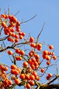 A lot of fruit ripe persimmon tree Stock Photo