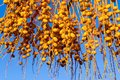 Lot fruits a date palm tree of amber color closeup