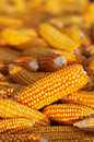 A lot of heads of ripe corn Stock Images