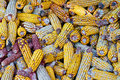 A lot of old corn, maize. Stock Image
