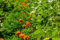 Lot of orange tagetes in the garden Royalty Free Stock Photo