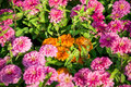 A lot of pink gerbera flower in the garden Royalty Free Stock Photo
