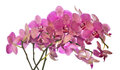 Lot of pink orchid flowers on white Royalty Free Stock Images