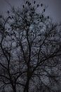 A lot of ravens sitting on leafless tree night photo Stock Images