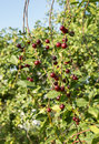 Lot of ripe cherries on branches. Royalty Free Stock Photo