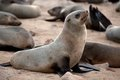 A lot of seals on the beach in namibia skeleton coast namibia africa Royalty Free Stock Image
