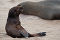 A lot of seals on the beach in namibia skeleton coast namibia africa Stock Photography