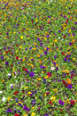 A lot of violets in the flower bed, colored floral texture Royalty Free Stock Photo