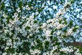 Lot of white plum blossoms on a spring day in nature Royalty Free Stock Photo