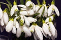 A lot of white snowdrops in glass bottle isolated on black background close up Stock Images