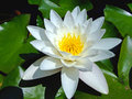 Lotos one white water lily flower Stock Image