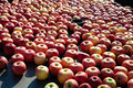 Lots of apples under industrial processing outdoors Royalty Free Stock Image