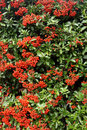 Lots of autumn season wild red berries. Stock Images