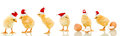 Lots of baby chicken at christmas time wearing santa claus hats with reflection Stock Image