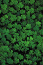 Lots of bright green clover on a black background, a trefoil field. Royalty Free Stock Photo