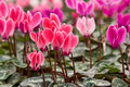Lots of Cyclamen Flowers Stock Photos