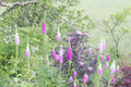 Lots of foxglove the toxic digitalis plants in white and purple color Royalty Free Stock Images