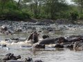 Lots hippos waterside tanzania Royalty Free Stock Photos