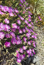 Lots of pink colorful mesembryanthemums ice plant flowers Stock Photography