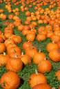 Lots of Pumpkins Royalty Free Stock Images