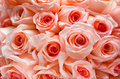 Lots of roses background many pink peach shot in shallow dof Royalty Free Stock Photo