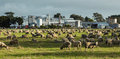 Lots of sheep in a paddock with a meat works in the background Stock Images