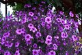 Small pink purple flowers in the garden Royalty Free Stock Photo
