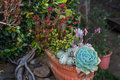 Lots of Succulents in a pot Royalty Free Stock Photo
