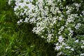 Lots of tiny white florets, flower carpet, green grass Royalty Free Stock Photo
