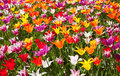 Lots of tulips in different colors Royalty Free Stock Photo
