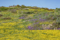 Lots of wild flower blossom at Diamond Valley Lake Royalty Free Stock Photo