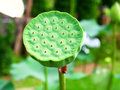 Lotur seed pod a lotus is on a green stem Royalty Free Stock Photography