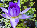 A lotus beautiful purple in pond Stock Images
