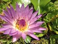 Lotus bee purple flower water Stock Photo