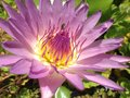 Lotus bee purple flower water Stock Image