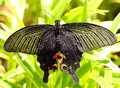 Lotus black butterfly in green background Stock Photos