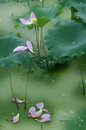 Lotus bloom and bud Stock Image