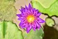 Lotus blooming Royalty Free Stock Photo