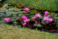 Lotus blooms flowers blooming in siem reap cambodia Stock Photo
