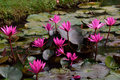 Lotus blooms flowers blooming in siem reap cambodia Royalty Free Stock Photos