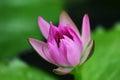 Lotus blossom Royalty Free Stock Photo
